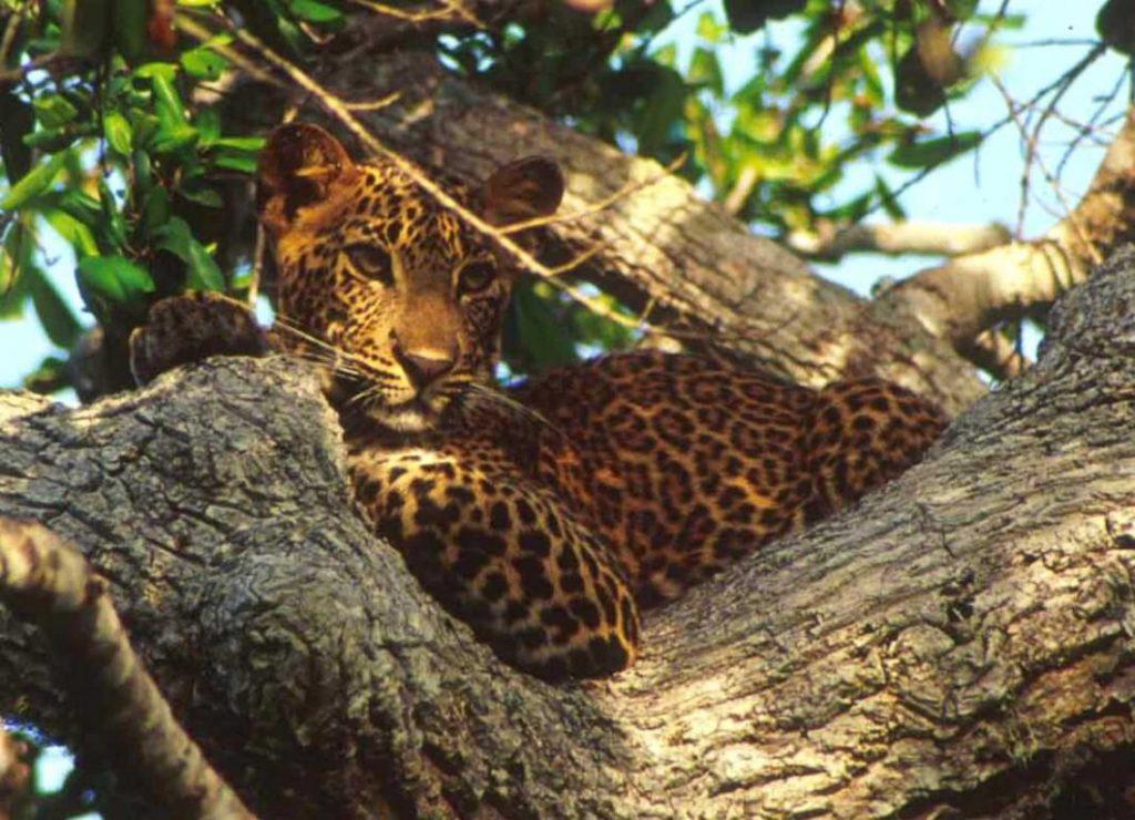 Шри Ланка леопард